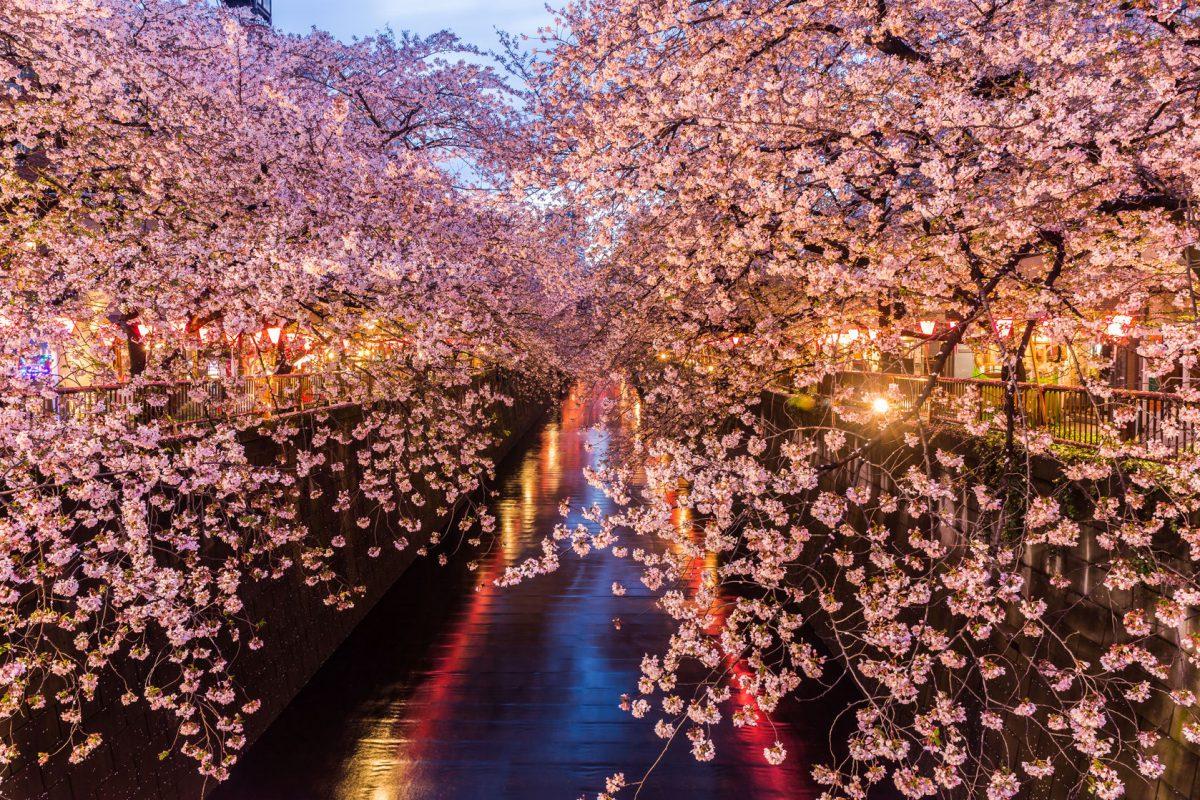 Hanami: cosa sapere sulla festa dei ciliegi in Giappone | Vagabondo