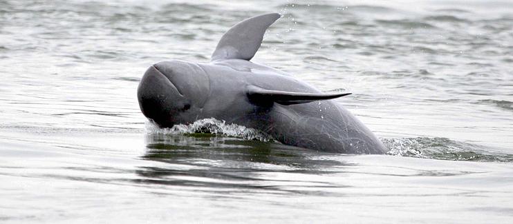 Irawaddy Dolphin